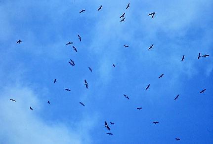 Black Stork 01a, Turkey, Sept'88.jpg