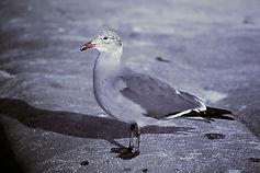 Heermann's Gull 03cc, adult, La Jolla, C