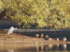 Great White Egret 181010-2, Frampton.jpg