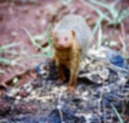 Eastern Dwarf Mongoose 04a, Kenya, 12_88