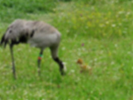 Common Crane 14a,  with chick, Slimbridg