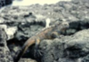 Marine Iguana 17a, Santiago, Galapagos,