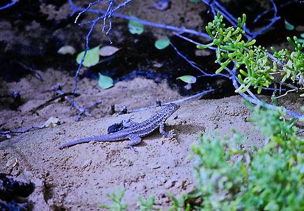 Lava Lizard 01a, Galapagos, 7_86.jpg