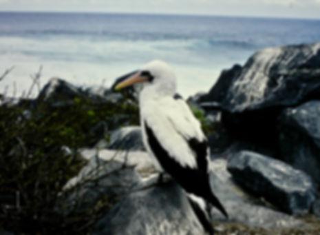 Nazca Booby 02a, Hood, Galapagos, 25-7-8