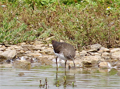 Green Sandpiper 177-04, Slimbridge, 27_7