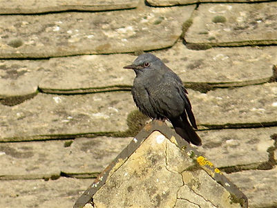 Blue Rock Thrush 10a, Stow-on-the-Wold,