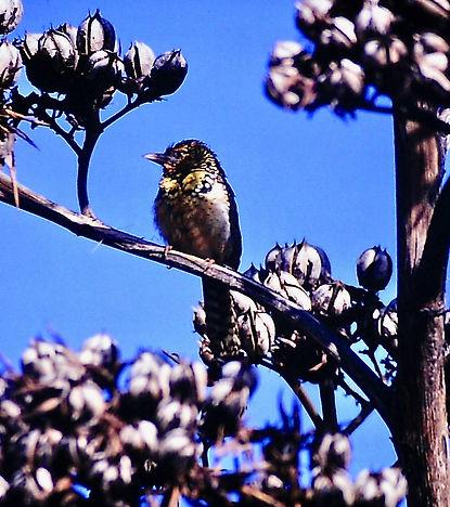 D'Arnaud's Barbet 05a, Kenya, 4_12_88.jp