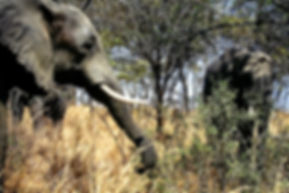 African Elephant 32a, Zimbabwe, 9_98.jpg