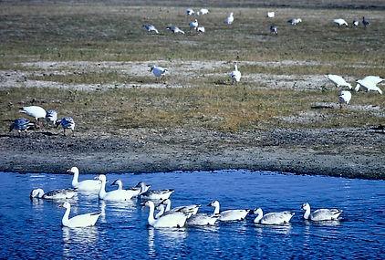Snow Goose 05a, Maryland, 10_87.jpg