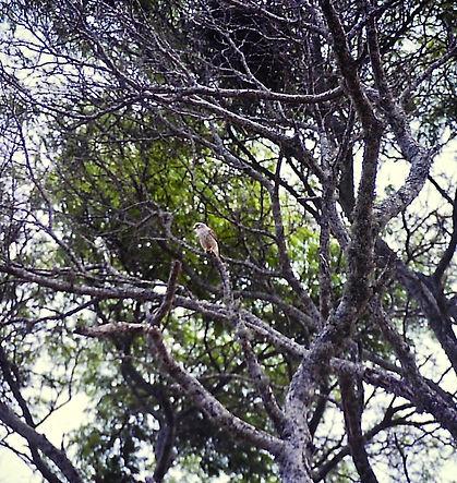 Madagascar Kestrel 01a, Berenty, 11_88.j