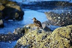 Black Turnstone 01aa, Morro Bay, Califor