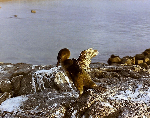 Flightless Cormorant 28a, Fernandina, Ga