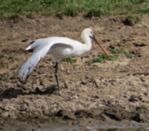 Spoonbill 180624-07, Slimbridge, 24_6_18