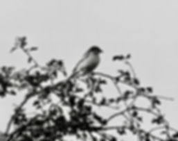 Woodchat Shrike 02a, Pagham, 26_9_76.jpg