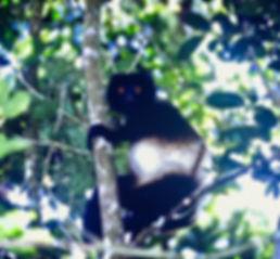 Milne-Edwards's Sifaka 03, Ranomafana, M