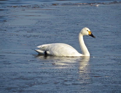 Bewick's Swan 181122-2, Slimbridge.jpg