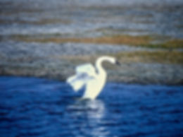 Tundra Swan 01a, Maryland, 10_87.jpg