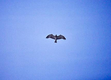 Short-toed Eagle 01a, Turkey, 9_88.jpg