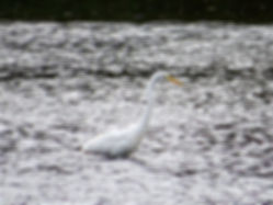 Great White Egret 170908, CVL, 29_9_17.j