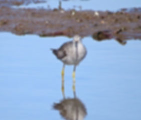 Lesser Yellowlegs 190326-28, Lodmoor.jpg