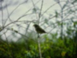 Large Ground Finch 01a, Santiago, Galapa
