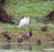 Egrets 03, CVL, 5_10_19.jpg