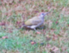 Green Woodpecker, Elm Lodge, 11_8_19 02.