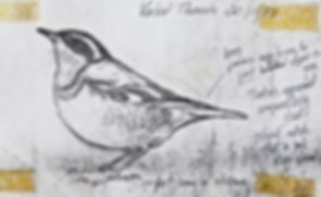 Varied Thrush, LAT 02, Nanquidno, 20_11_