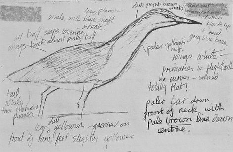 Squacco Heron LAT01, Radipole, 13_7_82.j