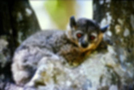White-footed Sportive Lemur 09, Berenty,