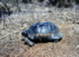 Spur-thighed Tortoise 04a, fire damaged,