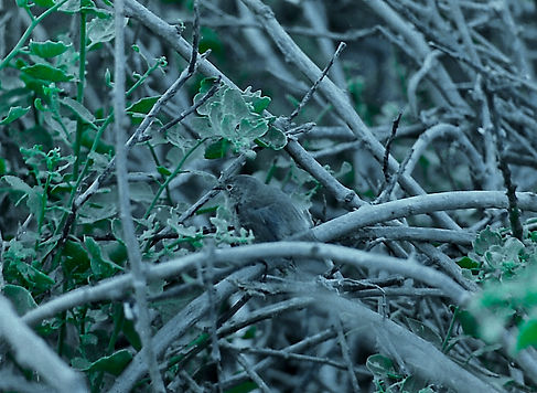 Warbler Finch 07a, Tower, Galapagos, 29-