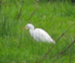 Cattle Egret 191022-04, Catcott Lows.jpg
