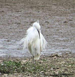 Little Egret 05a, Slimbridge, 13_9_14.jp