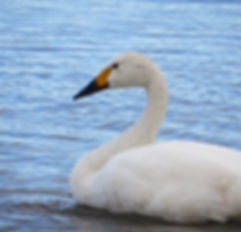 Bewick's Swan 171108a, Slimbridge, 30_11