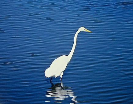 Great Egret 03a, Virginia, 19-10-87.jpg