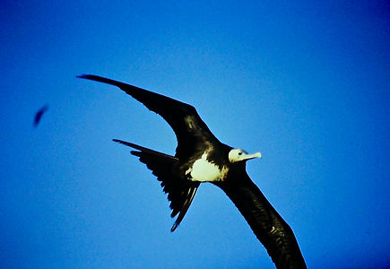 Great Frigatebird 03a, imm, Tower, Galap