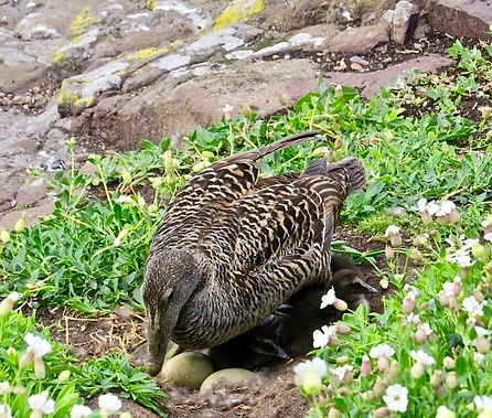 Eider 02, Farne Islands, 6_6_19.jpg