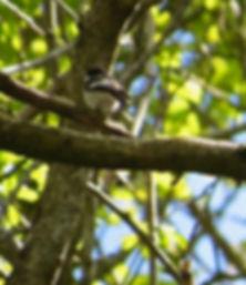Pied Flycatcher, Hodders Combe, 13_5_19.
