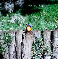 Madagascar Kingfisher 02a, Madagascar, 1