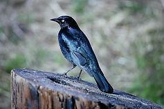 Brewer's Blackbird 02a, California, 24_1
