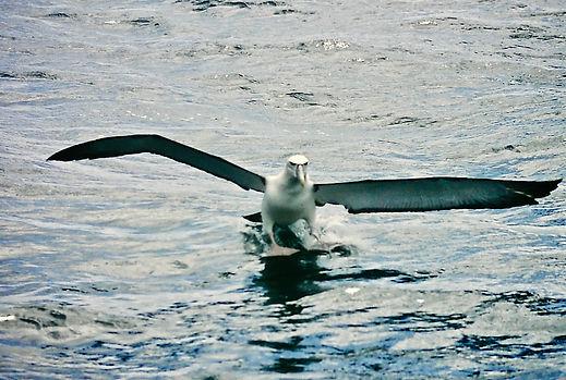 Shy Albatross 11a, Stewart Is NZ, 17-11-
