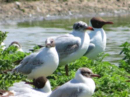Mediterranean Gull 180601-5, 1st summer,