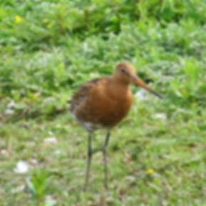Black-tailed Godwit 17601, Slimbridge, 1