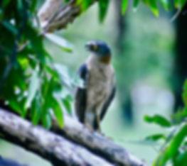 Collared Sparrowhawk 04a, Kakadu, Oz, 29