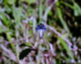Silver Widow Dragonfly (Palpopleura vest