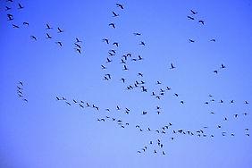 Common Crane 02a, Hortobagy, Hungary, Oc