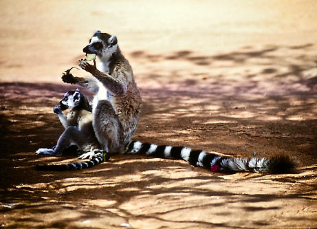 Ring-tailed Lemur 06a, Berenty, Madagasc