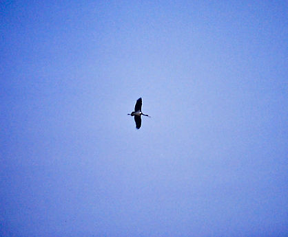 Black Stork 03a, Turkey, Sept'88.jpg