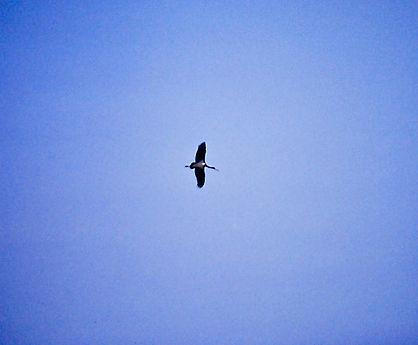 Black Stork 03a, Turkey, Sept'88.jpg